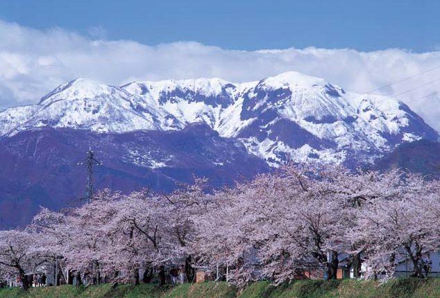 勝山市弁天桜
